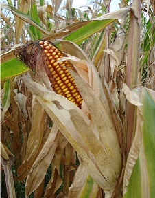 Maize meristems are less than 1mm in size. Image courtesy of Wikipedia