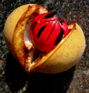 The fruits of the nutmeg tree, Myristica fragrans, offers two spices: nutmeg (the dark seed) and mace (the bright red covering or 'aril'). Photo: Flickr/-Reji.