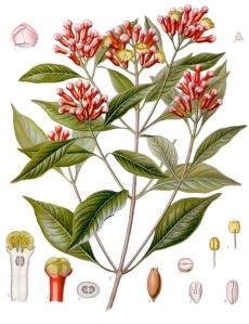 Clove on Wikipedia