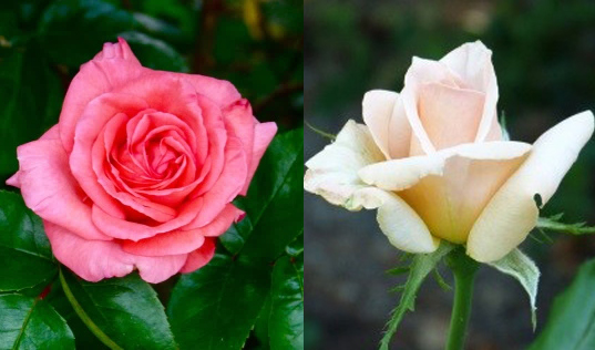 Variation in rose flower colour